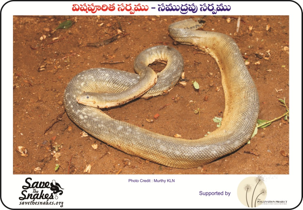 sea snake, hook-nosed sea snake