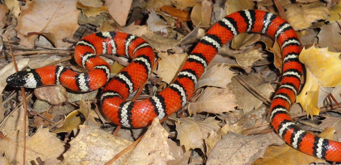 kingsnake, snakes in yard