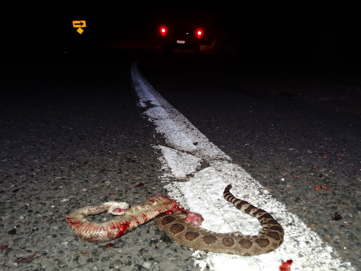 brake for snakes, road kill, rattlesnake on road