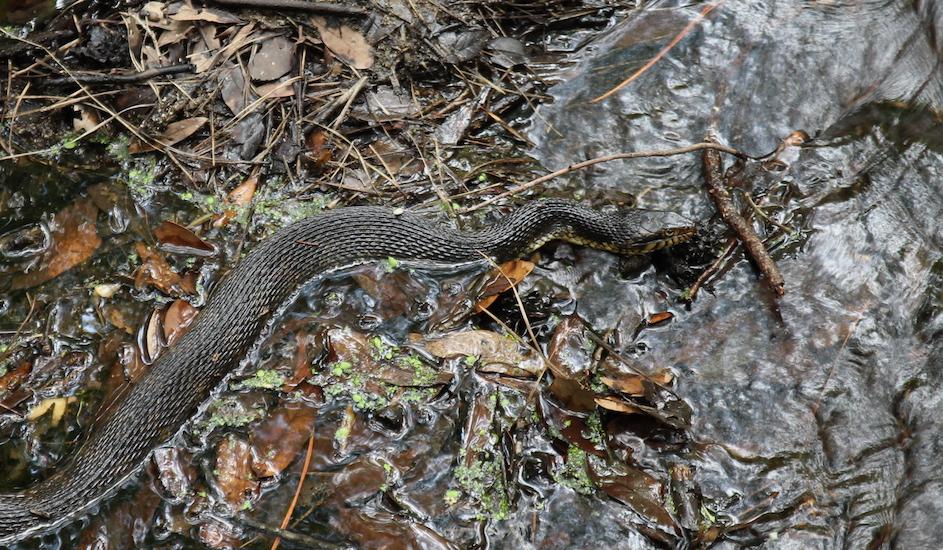 Snake Fungal Disease Spread toEurope